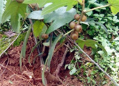 五指毛桃苗价格多少钱一棵?怎么种植好?